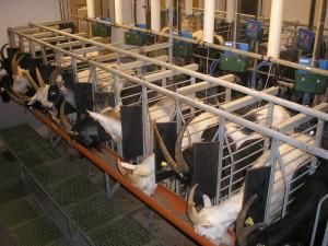 Vårt mjölkstall